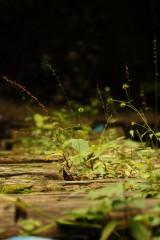 木の橋に生えた草