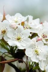 梨の花 アップ