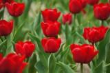 チューリップ(赤) 花畑6