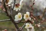 梅の花・枝1