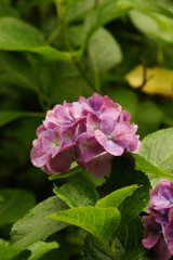 アジサイの花・紫5
