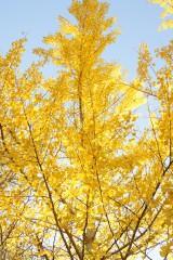 紅葉・イチョウの木
