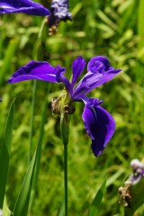 カキツバタ 花・紫3