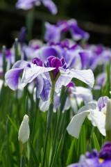 ショウブ 花・紫13