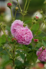 バラの花・ピンク