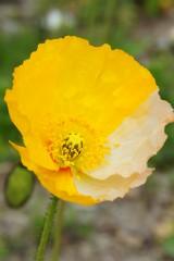 ポピーの花 黄色と白
