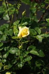 バラ 花(万博公園)・黄色8
