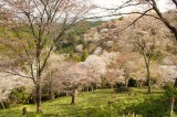 吉野・中千本の桜(4/15)