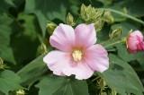 芙蓉(フヨウ) 花1
