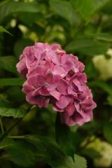 アジサイの花・紫6
