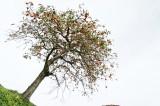 斜め下から見た柿の木