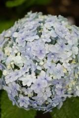 アジサイの花・青・薄紫24