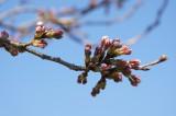 吉野・桜のつぼみ