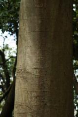ケヤキの木肌