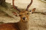 奈良の鹿・正面1