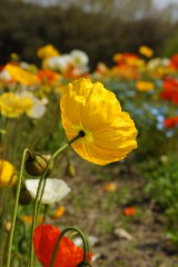 風になびくポピー 花