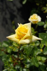 バラの花(万博公園)・黄色5