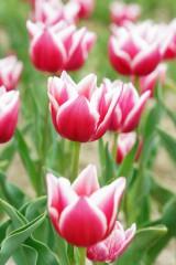 チューリップ(赤と白)の花畑4