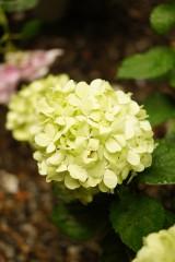 アジサイの花・黄緑7