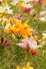 ユリ 花とつぼみ・花畑3