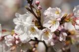 明日香村・石舞台の桜13