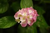 アジサイの花・ピンク4