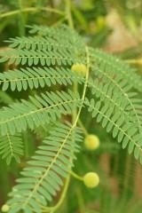 キンゴウカン(金合歓)の葉