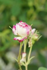 バラのつぼみ・濃いピンクと白