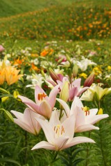 ユリ 花とつぼみ・花畑1
