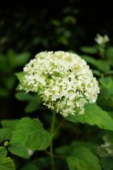 アジサイの花・黄緑5