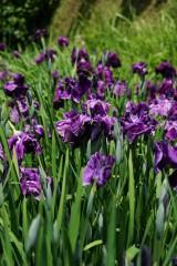 ショウブ 花・紫5