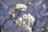明日香村・石舞台の桜29