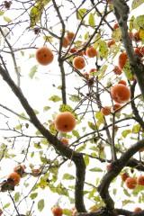 下から見た柿の木