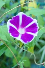 アサガオ 花・白と紫