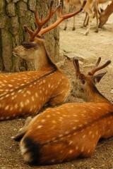 奈良の鹿・振り返り3