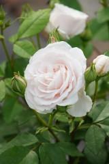 バラの花(白)