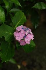 アジサイの花・紫3