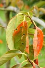 紅葉 柿の葉1