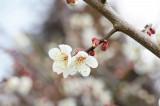 梅の花19