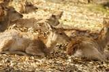 奈良の鹿・複数・側面