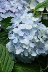 アジサイの花・青・薄紫3