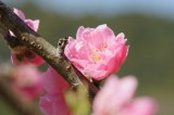 明日香村・石舞台周辺 桜