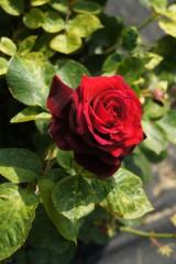 バラ 花(万博公園)・紅10