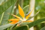 極楽鳥花(ゴクラクチョウカ)1