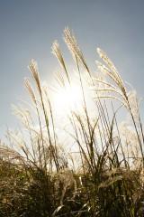 太陽とススキ