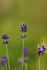 ラベンダー(濃紫)4