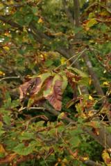 枯れ始めた木の葉1
