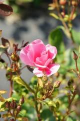 バラの花(万博公園)・ピンク9
