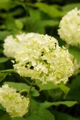 アジサイの花・黄緑3
