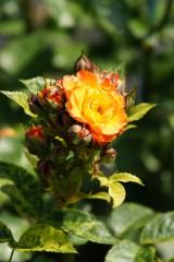 バラ 花(万博公園)・赤と黄色4